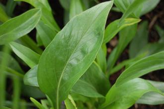 Scabiosa caucasica Leaf (02/07/2016, Kew Gardens, London)