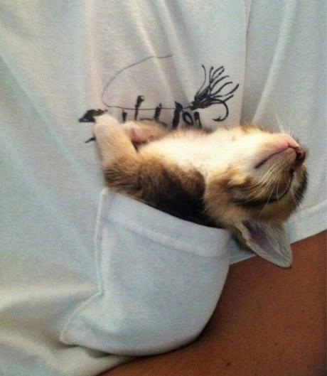 kitten in pocket