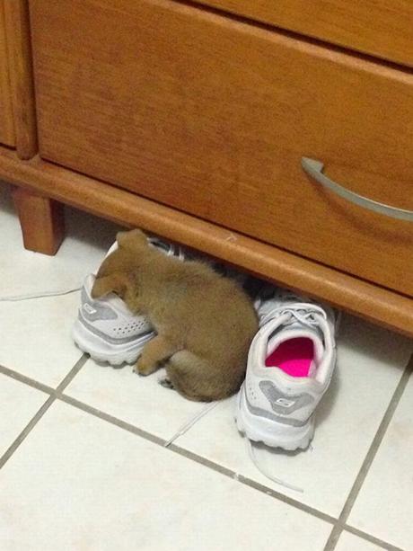 puppy in shoe