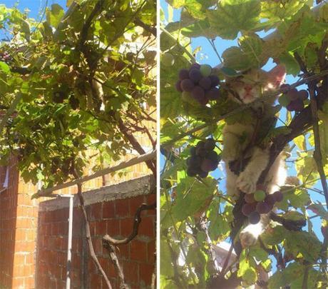 kitten in grape tree