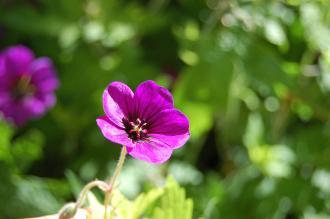 Geranium macrorrhizum 'Spessart' Flower (02/07/2016, Kew Gardens, London)