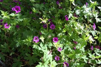 Geranium macrorrhizum 'Spessart' (02/07/2016, Kew Gardens, London)