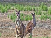Photo Margaret River's Wild Roos