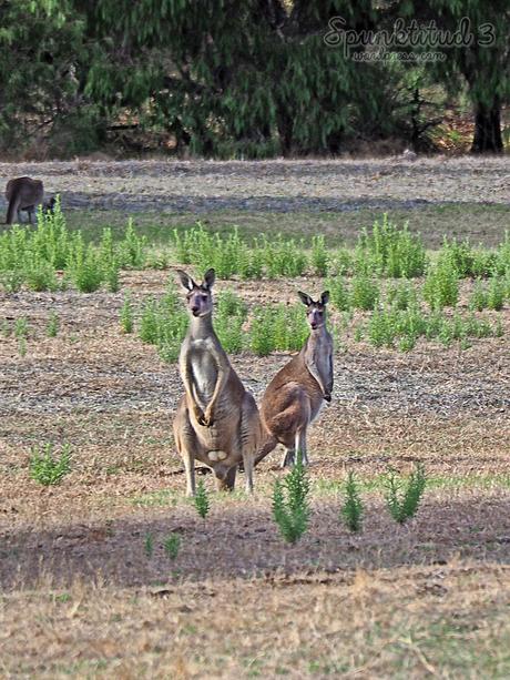 Wild Kangaroos in Perth