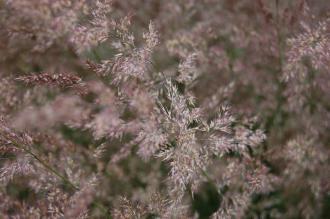 Calamagrostis x acutiflora 'Karl Foerster' Flower (02/07/2016, Kew Gardens, London)
