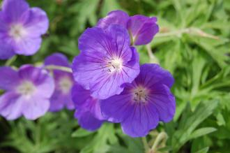 Geranium 'Orion' Flower (02/07/2016, Kew Gardens, London)