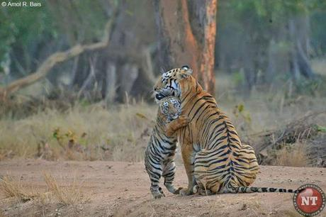 Maya, the Tiger cuddled by its child - set to become postal stamp !