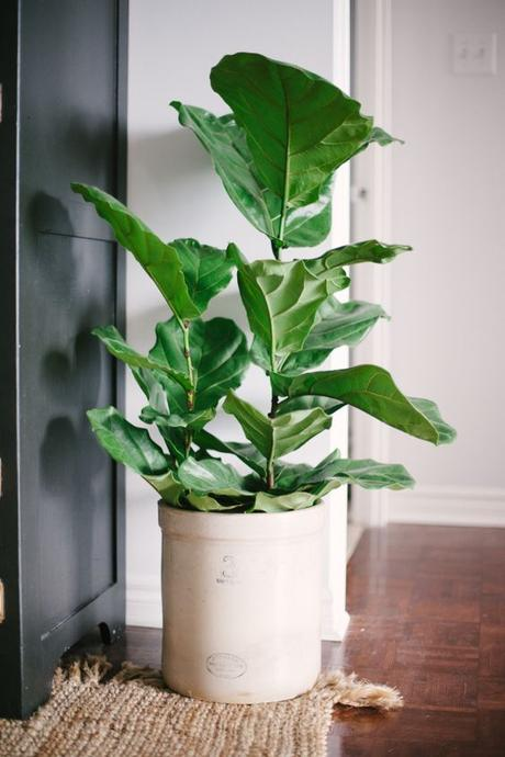 Fiddle Leaf Fig: http://www.stylemepretty.com/living/2015/04/07/10-indoor-plants-you-cant-kill/: