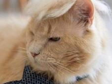 Politically Incorrect Cats Look Like Donald Trump