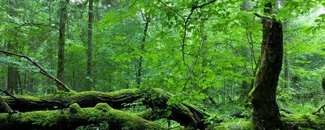 Bialowieza Forest – The immense primeval forest.