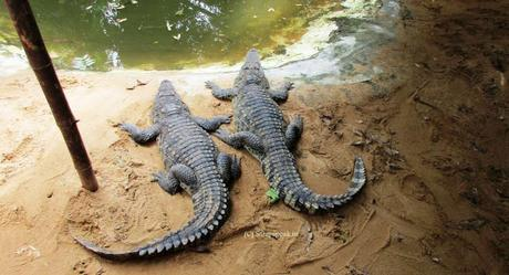 African slender-snouted Crocodiles fly to Ahmebadad