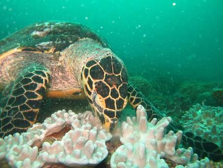 Hawksbill Turtle. Photo Turtle Bay Dive Centre Watamu