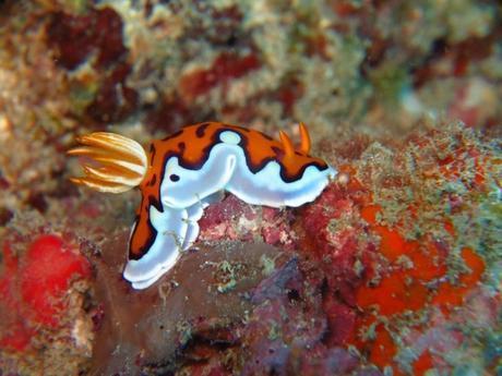 Chromodoris Gleniei nudibranch. Snorkel Watamu. Photo Turtle Bay Dive Centre