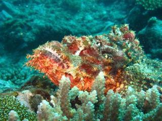 Scorpion Fish. Snorkel Watamu. Photo Turtle Bay Dive Centre