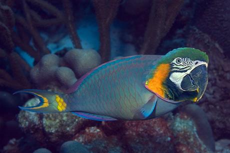 Parrotfish via Uncyclopedia