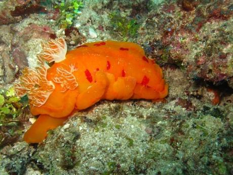 Spanish Dancer Nudibranch. Snorkel Watamu. Photo Turtle Bay Dive Centre