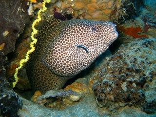 Honeycomb Moray Eel. Snorkel Watamu. Photo Turtle Bay Dive Centre
