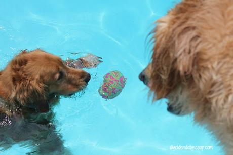 golden retriever dogs playing in the pool