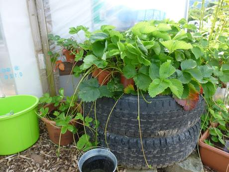 Self Sufficient In - Strawberry Plants