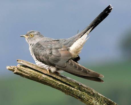 Satellite-tracking study links population declines to Cuckoo's choice of migration route