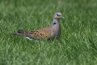 TURTLE DOVE POPULATION IN TAILSPIN