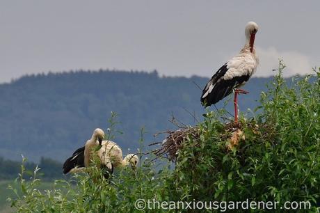 Stork nest (1)