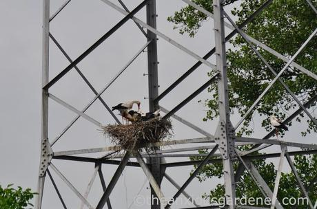 Stork nest (2)