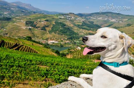 Ice the Dog in the Douro Valley, Portugal