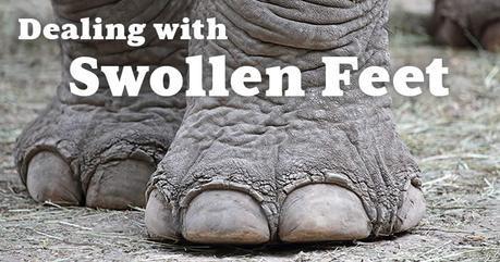 swollen-feet-elephant