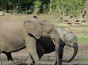 African Forest Elephants face Extinction Sooner Than Thought