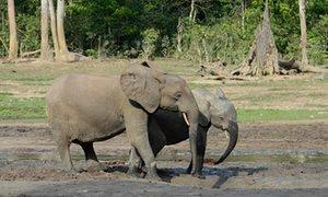 African forest elephants may ​face extinction sooner than thought