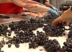 Burgundy harvest : removing some stems and poor grapes on the sorting table. ©RudiGoldman. All Rights Reserved.