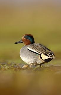 Have a great day out at the North West Bird Watching Festival at WWT Martin Mere Wetland Centre