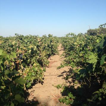 Back from the Brink: #WBC16 Part 2  Lodi Wine – The Wine Abides