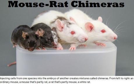 mouse-rat chimeras