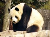 Return Giant Panda Triumph Species Conservation