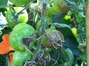 Blight Tolerant Tomatoes
