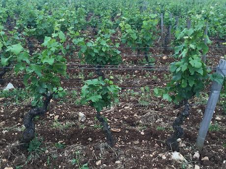 My latest in Palate Press: Burgundy 2016: Bad Weather, Brexit, and Beyond