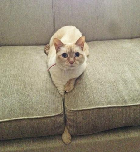 Cat Who Doesn't Know How to Use a Sofa