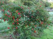 Rosehips Roses