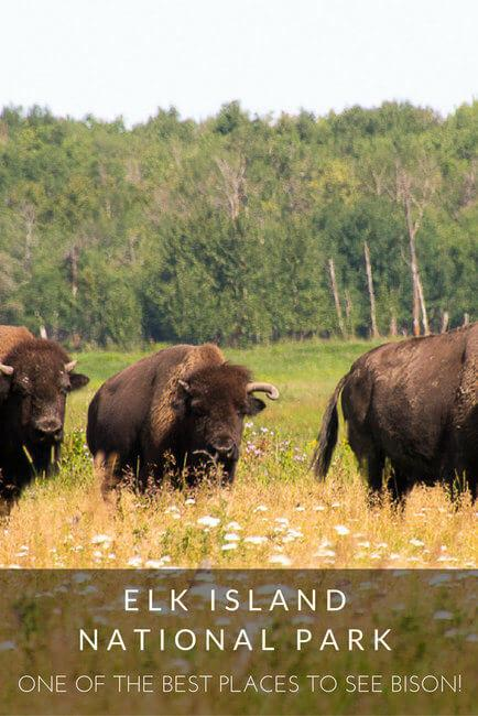 Elk Island National Park: One of the Best Places to See Bison!