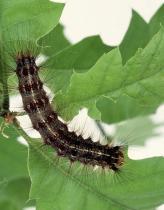 Lymantria larva