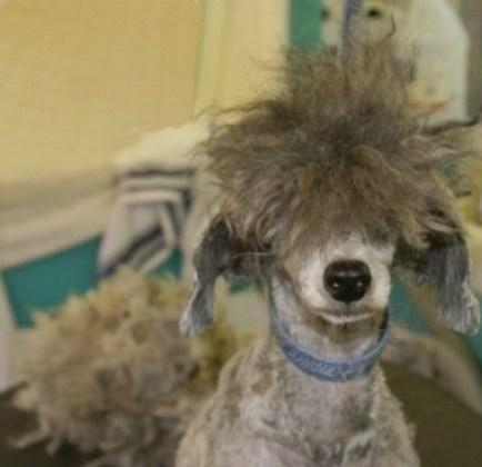 Dog Having A Bad Hair Day