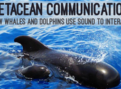 Cetacean Communication: Whales Dolphins Sound Interact