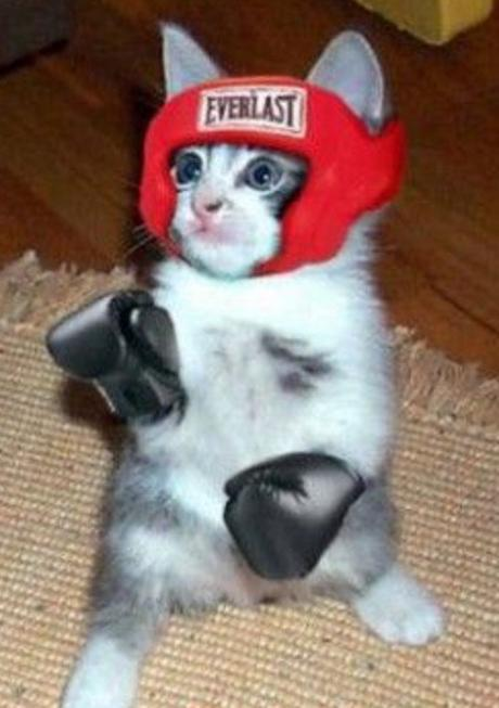 Boxer Cat - Ready To Fight