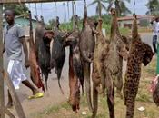 "Bushmeat Demand Overwhelming ""Supply"" Mammal Species"
