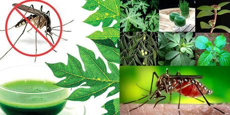Effective Herbal Remedies for Chikungunya Fever