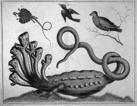 Hydra. Seba Albertus (1734-1765). Image from Wellsome Trust