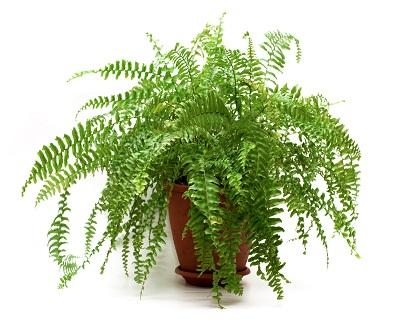 Best Potted Planst For Patio Ferns