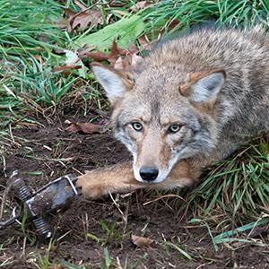 Attention New Mexico: Urge Santa Fe County Commissioners to Restrict Trapping on Federal Public Lands